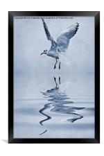Black-headed gull cyanotype, Framed Print