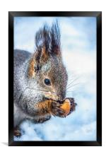 The squirrel with an acorn, Framed Print