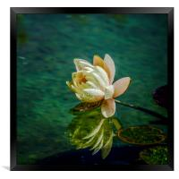 Water Lily after rain, Framed Print