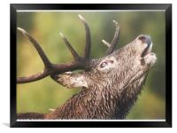 Roaring  Red Stag , Framed Print