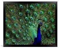 Peacock, Framed Print