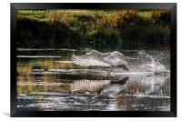 Juvenile Mute Swan Treading Water, Framed Print