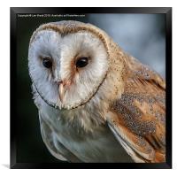 Barn Owl Portrait, Framed Print