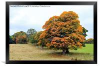 The Golden Oak Tree , Framed Print