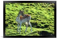 Young Fallow Deer, Framed Print