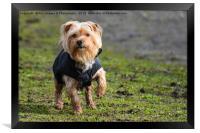 Yorkshire Terrier Dog, Framed Print