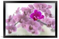 Single  purple orchid in front of pink orchids, Framed Print