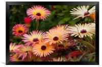 Livingstone Daisies (Mesembryanthemum) , Framed Print