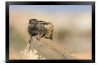 Barbary ground squirrel (atlantoxerus getulus) on , Framed Print