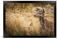 Red Deer             , Framed Print