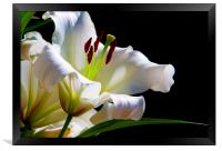 White Lilium, Framed Print