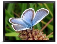 Common Blue, Framed Print