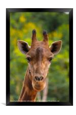Giraffa, Framed Print