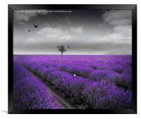Lavender Fields, Framed Print