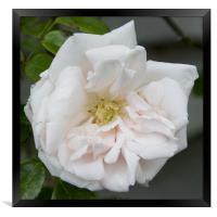 Pink Rose, Framed Print