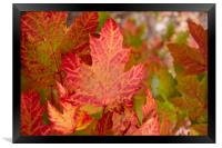 Canadian Fall Colours, Framed Print