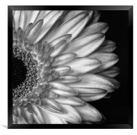 Gerber Daisy Black and White, Framed Print
