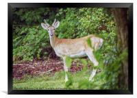 Young Buck in Velvet, Framed Print
