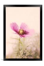 Cosmea (Cosmos bipinnatus) , Framed Print