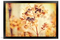 Hydrangeas in the autumn , Framed Print