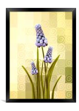 Grape hyacinths , Framed Print