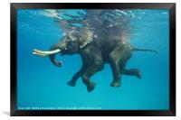 Swimming elephant, Framed Print