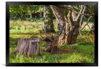 The Stag., Framed Print