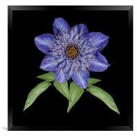Blue Clematis, Framed Print