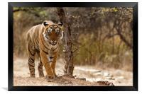 Bengal Tiger at Ranthambhore National Park, India, Framed Print