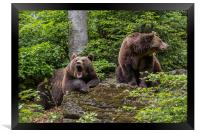 Brown Bear Couple in Forest, Framed Print