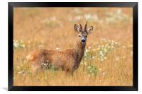 Roe Deer , Framed Print