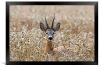 Roe Deer in Wheat Field, Framed Print