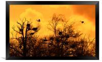 Grey Herons Landing in Tree at Heronry at Sunset, Framed Print