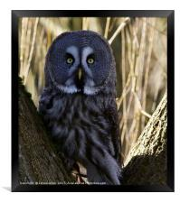 Oh Ello Ello Ello!! (Great Grey Owl), Framed Print