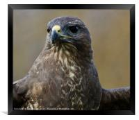 Up Close and Personal (Buzzard), Framed Print
