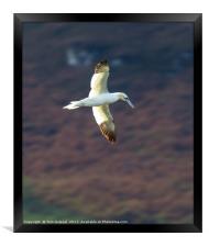 In flight Gannet, Framed Print