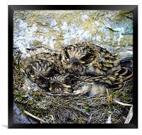 Spotted Flycatchers Nest, Framed Print