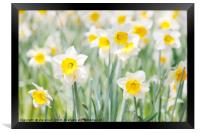 White and yellow daffodils, Framed Print