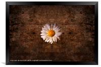 Grunge daisy , Framed Print
