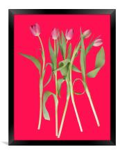 Tulips on pink background, Framed Print