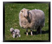 The New Arrival. A Newly Born Lamb on Anglesey., Framed Print