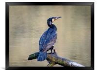 Cormorant at Bosherston Lily Ponds, Pembrokeshire., Framed Print
