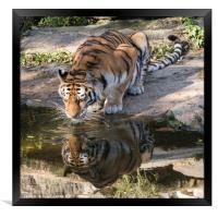 Indochinese Tiger, Framed Print