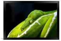 Green Tree Python, Framed Print