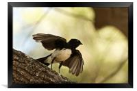 Willy Wagtail Silhouette, Framed Print