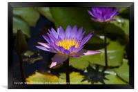 Purple Water Lilies close up , Framed Print