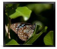 Blue Tiger Butterfly , Framed Print