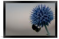 bee friendly Echinops, Framed Print