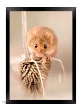 Harvest Mouse on Thistle, Framed Print