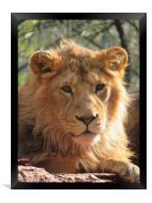 Yali, a young Asian Lion, Framed Print